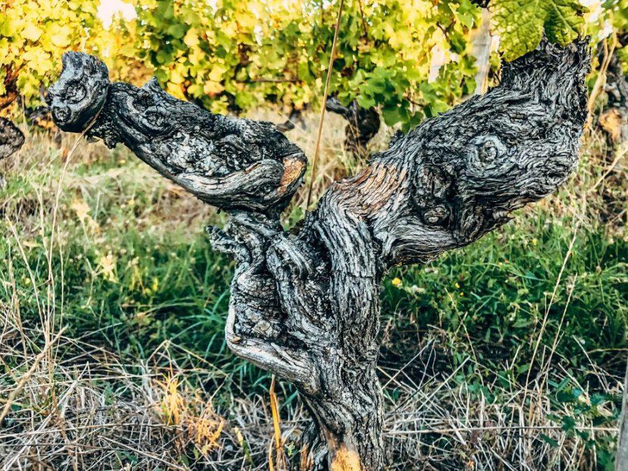 SEMILLON bordeaux cep de vigne